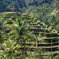 bali-free-rice-fields3